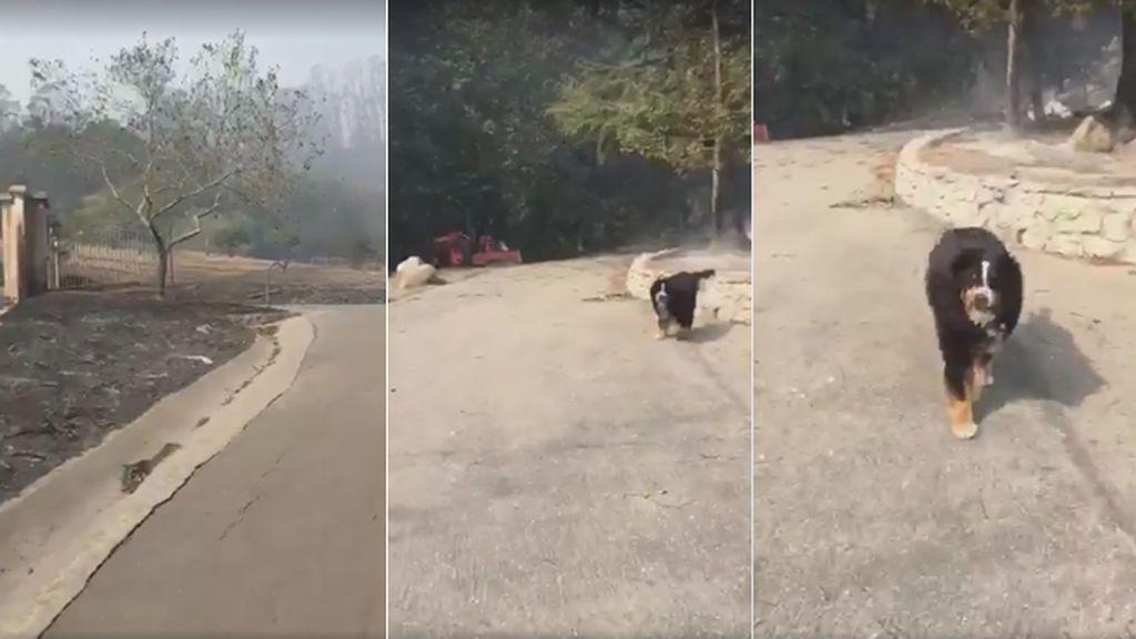 Izzy, la perra que sobrevivió a la destrucción de los incendios de California