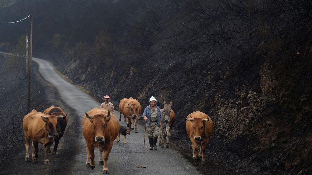 Granjero pasea con su ganado por un monte abrasado por las llamas en Galicia