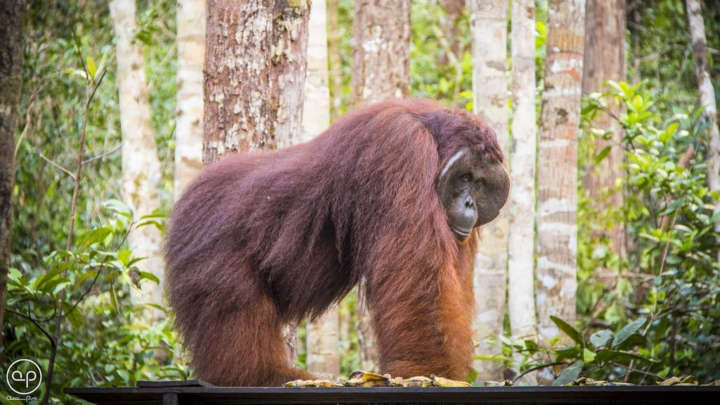 Cara a cara con un orangután