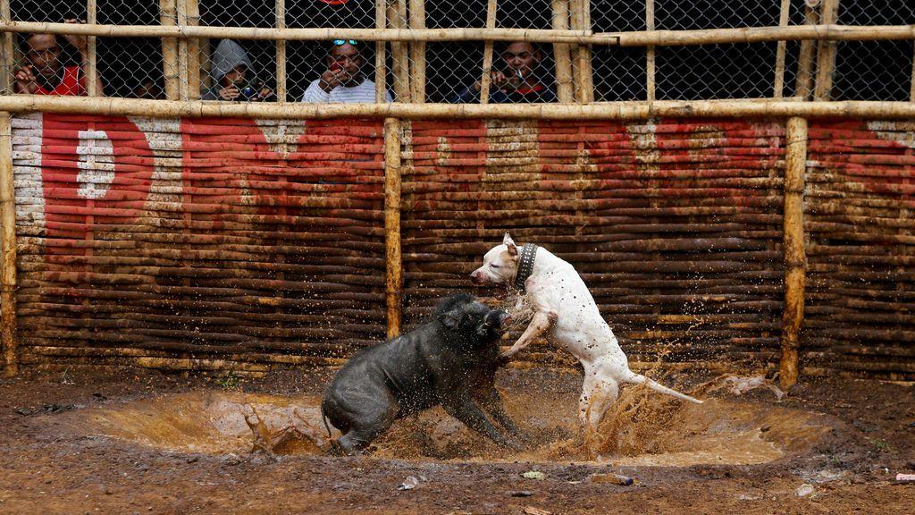 pelea jabalí con perro