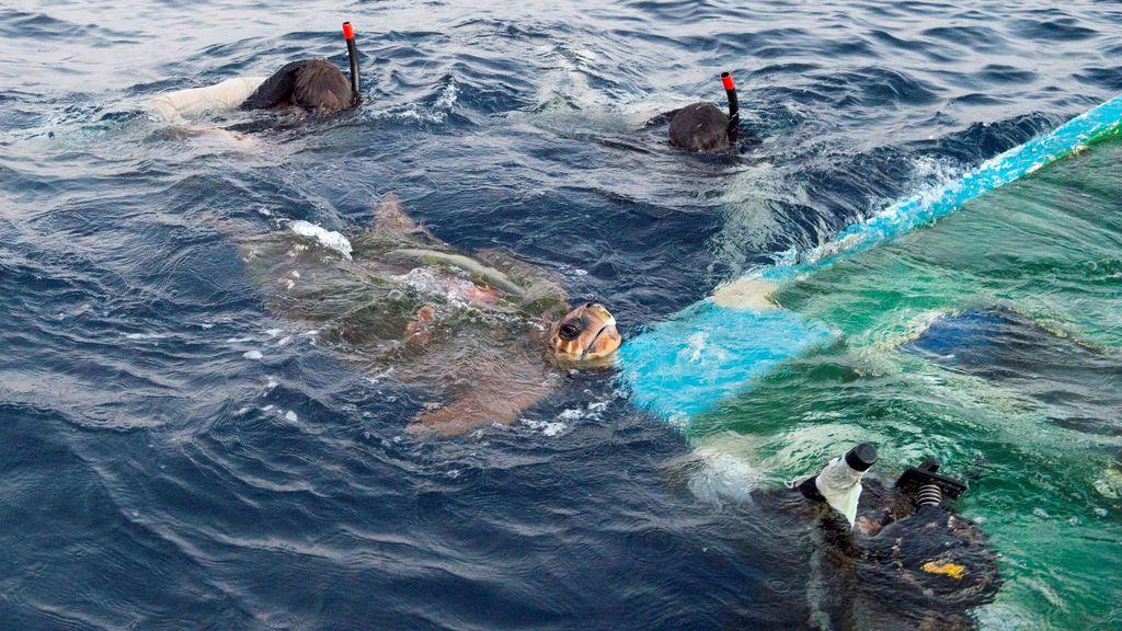 Operarios rescatan a una tortuga marina enredada en un barco pesquero semi hundido