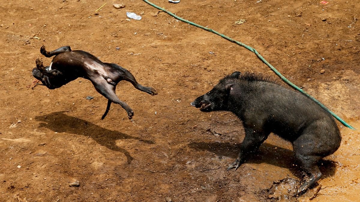 El sangriento espectáculo de abu bagong en Indonesia: Peleas de jabalíes contra perros