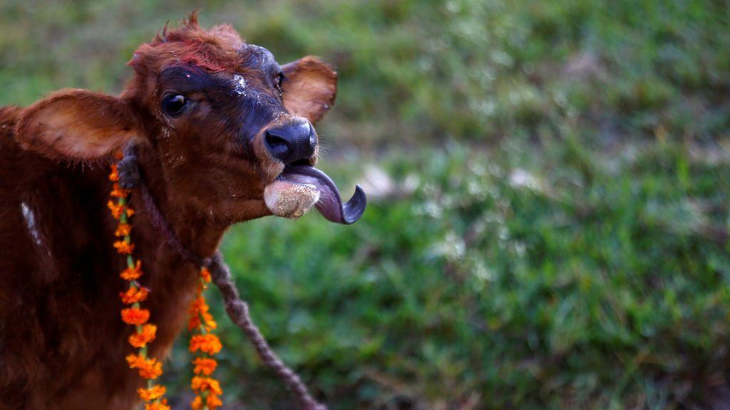 Una vaca con una guirnalda se representa después de que un devoto ofreció la oración durante una ceremonia religiosa que celebra el festival de Tihar