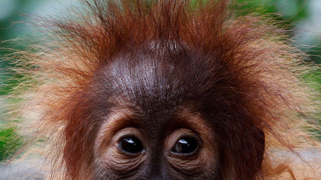 Un bebé orangután mira el Zoo de Singapur 19 de octubre de 2017