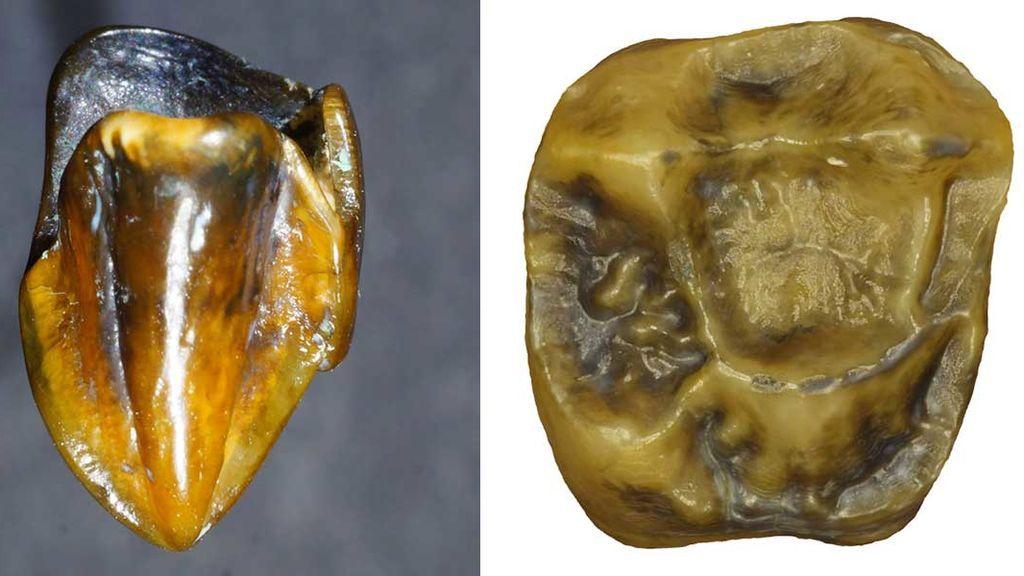 El diente que podría reescribir la historia de la humanidad