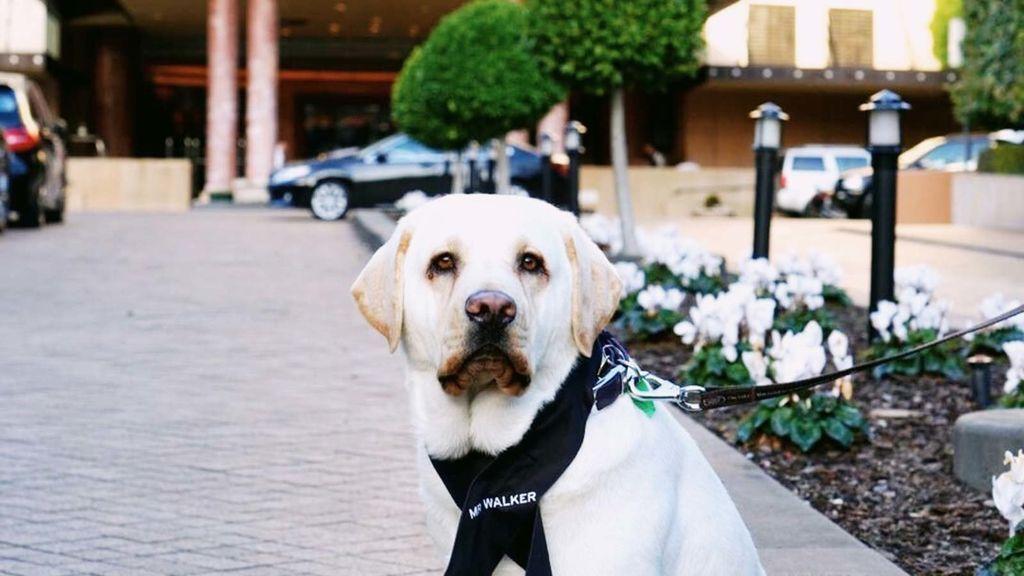 Mr. Walker, de ser perro guía a recibir huéspedes en un hotel