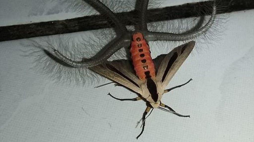 El escalofriante insecto que aterroriza a Australia