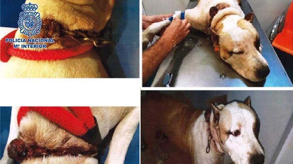 Detenida por abandonar a un perro con graves heridas en el cuello en Almería