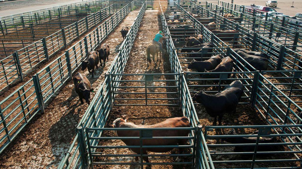 Investigan a un ganadero por matar de hambre a sus vacas en Salamanca