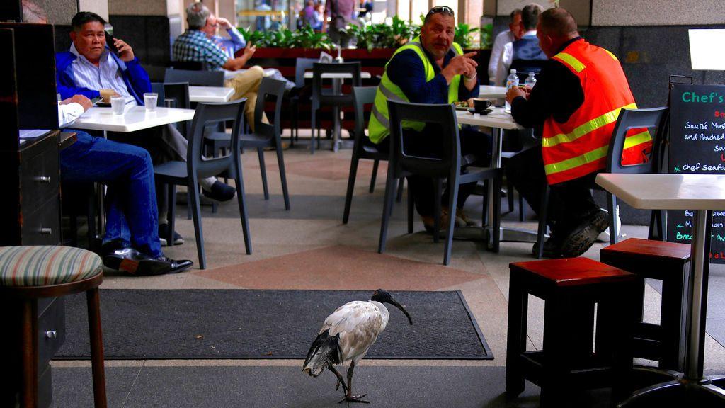 Un pájaro Ibis blanco australiano camina entre los clientes sentados en las mesas de un café en el centro de Sydney, Australia