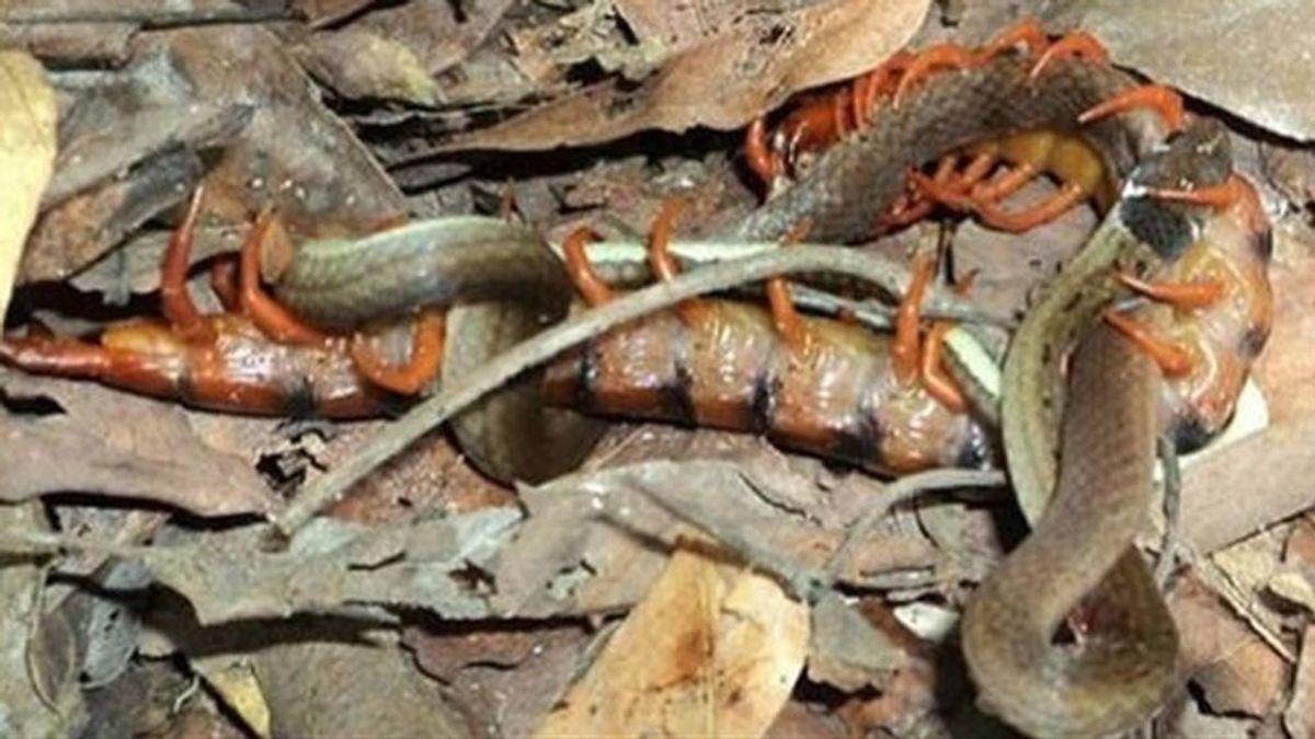 ¡Increíble! Un ciempiés devora a una serpiente mientras esta pone huevos