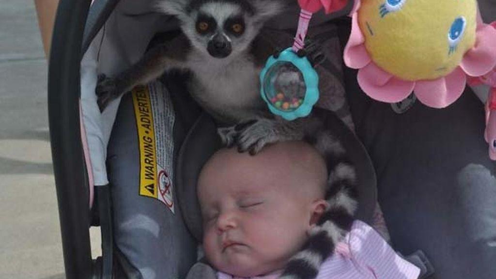 Un lémur del zoológico se coló en el cochecito de esta bebé
