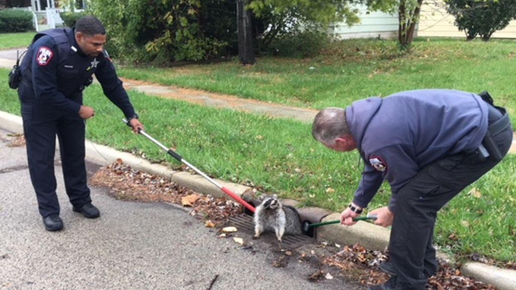 La policía rescata a un mapache con sobrepeso atrapado en un alcantarilla en Illinois