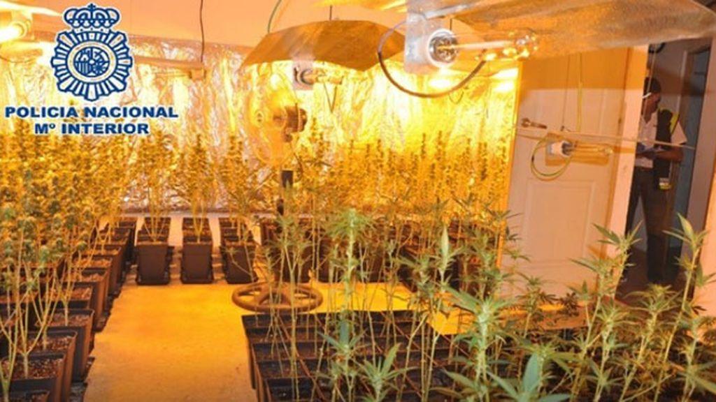 Once detenidos y 836 plantas incautadas a una red de cultivo de marihuana en Málaga