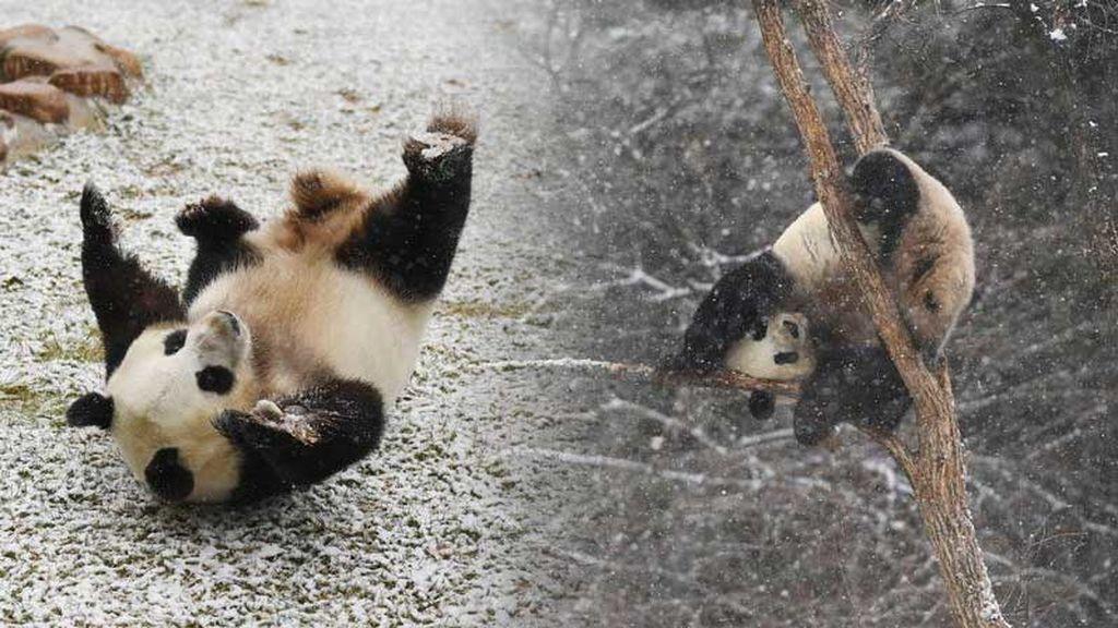 Nada más empezar a caer la nieve, este panda empezó a 'alucinar en colores'