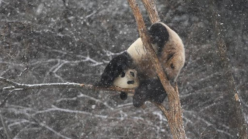 Giant-Pandas-Play-In-Changchuns-First-Snow (4)