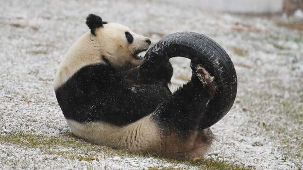 Giant-Pandas-Play-In-Changchuns-First-Snow (1)