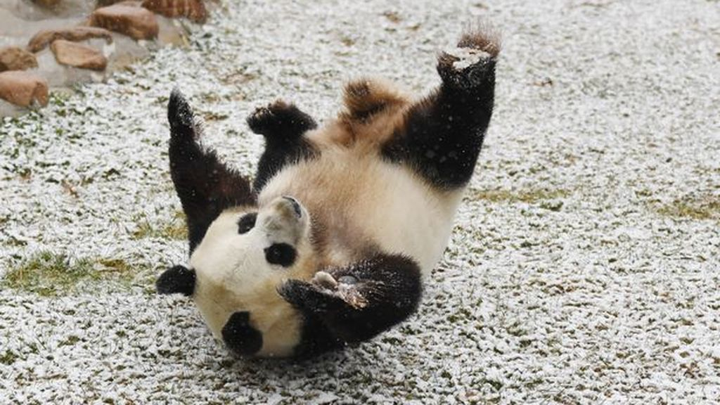 Giant-Pandas-Play-In-Changchuns-First-Snow (3)