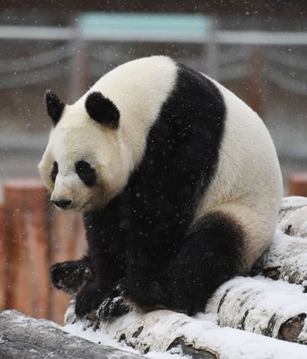 Giant-Pandas-Play-In-Changchuns-First-Snow (2)