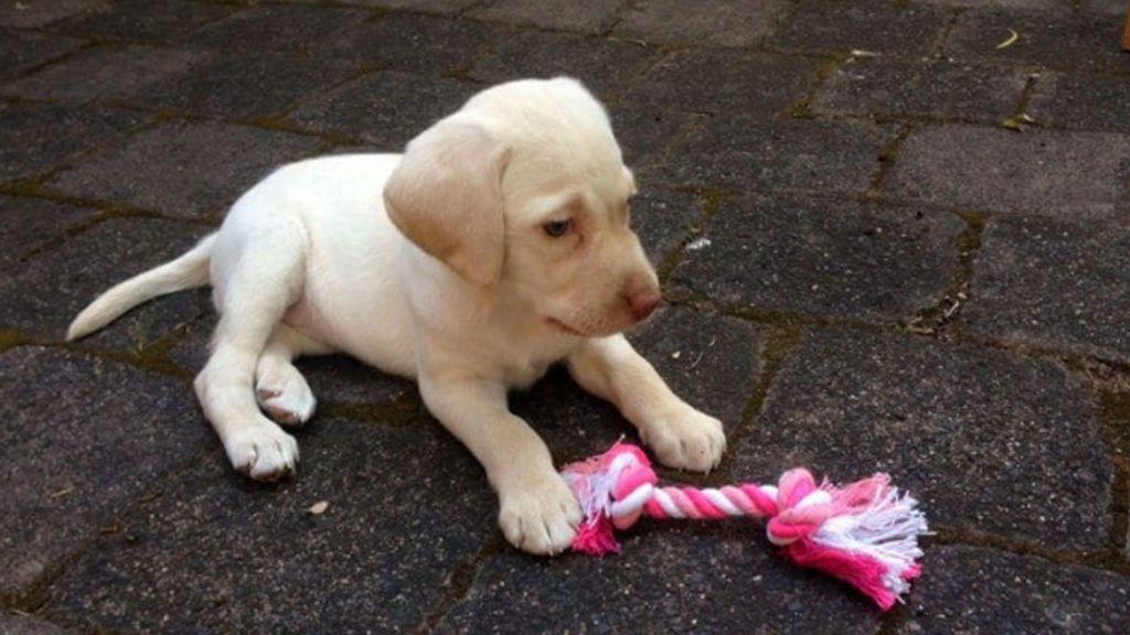 Le roban el cachorro de labrador a una niña de 4 años y se lo devuelven porque les remuerde la conciencia