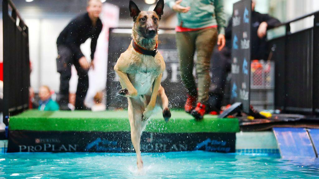 """Un perro se lanza al agua durante el """"World Dog Show"""" celebrado en Alemania"""