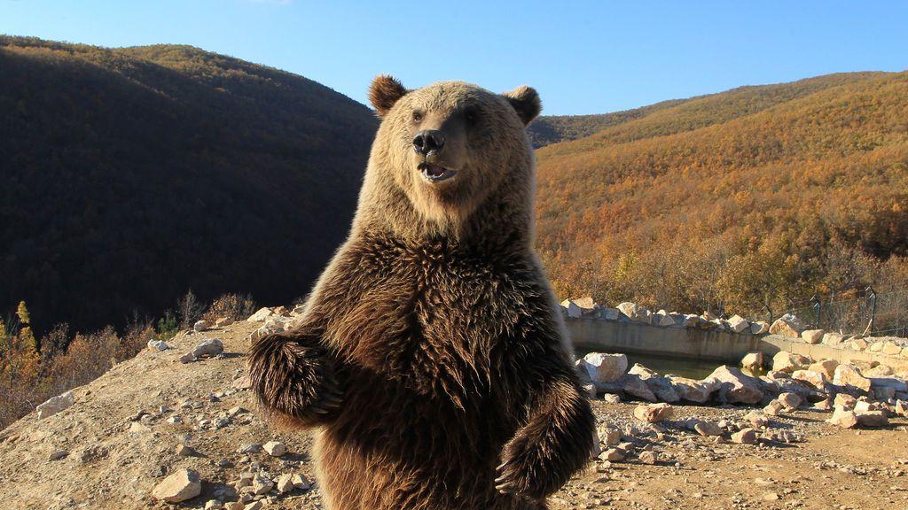 Un oso se prepara para hibernar en el santuario de Cuatro Patas de Oso en Pristina, Kosovo