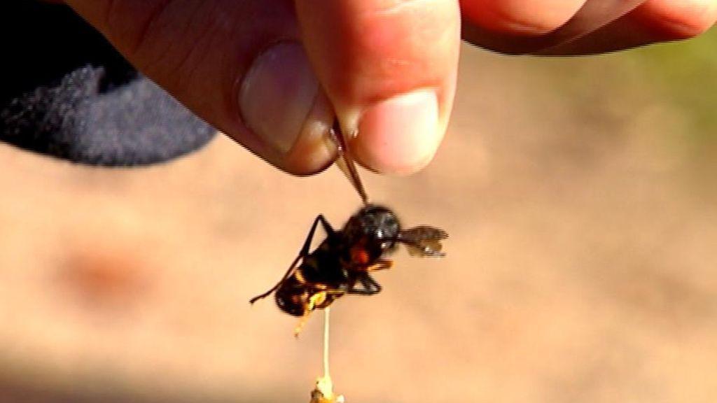 Muere por 25 picaduras de avispas velutinas