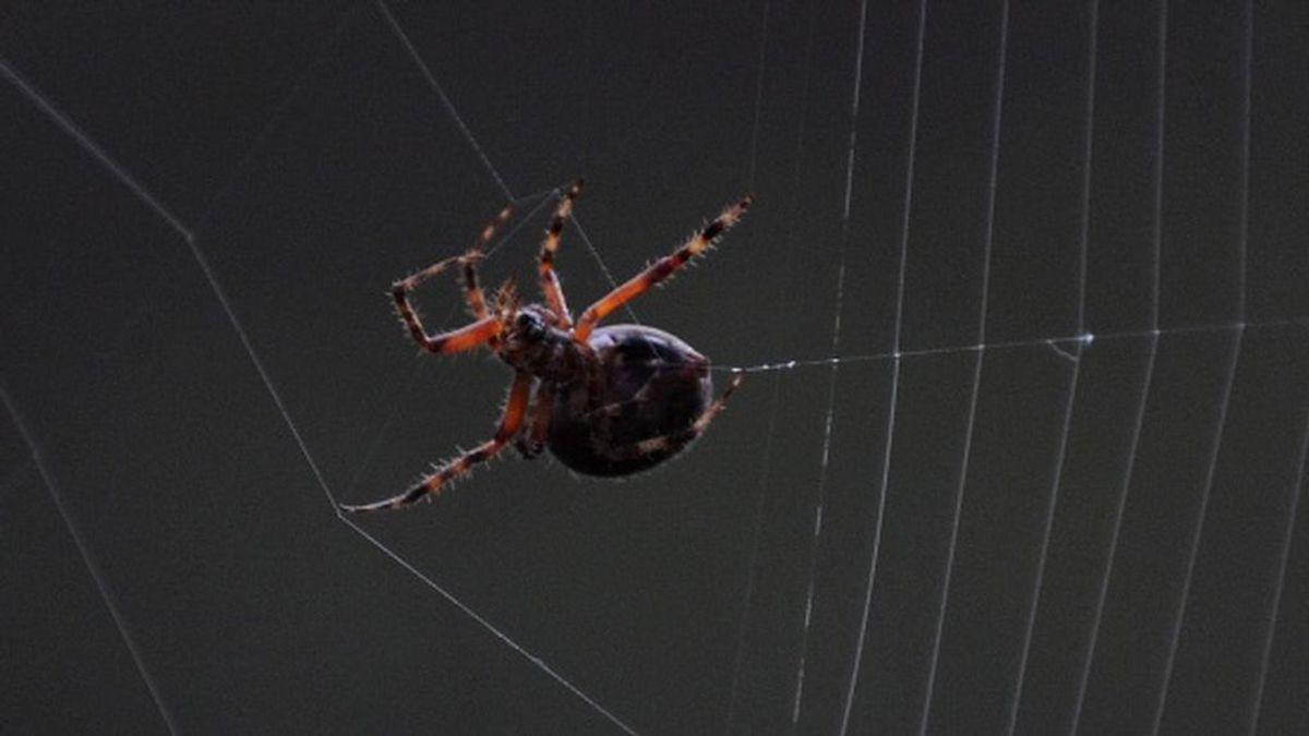 No nos comemos ocho arañas al año mientras dormimos; científicos desmontan el mito