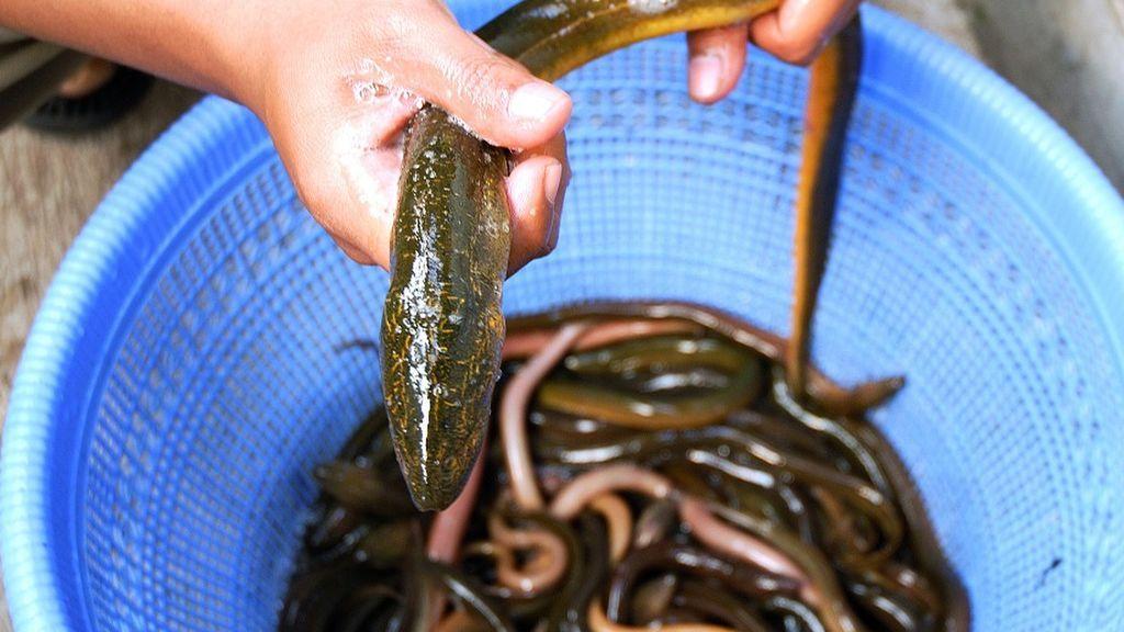 Tiene una anguila viva atrapada en el ano y no quiere explicar a los médicos por qué