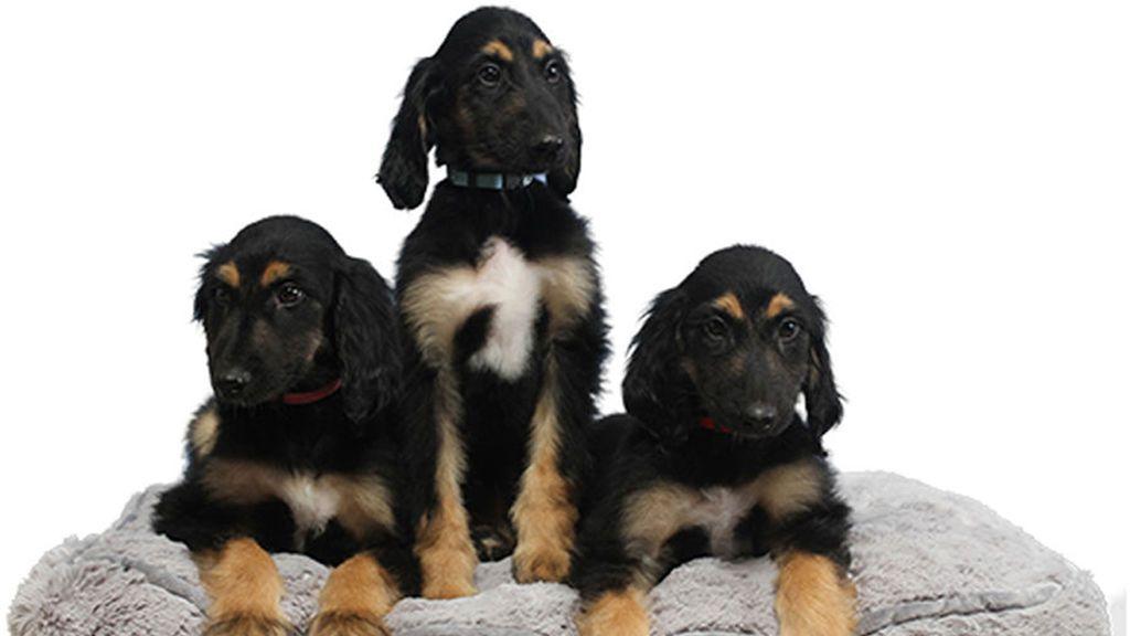 Reproducen en tres clones al primer perro clonado del mundo