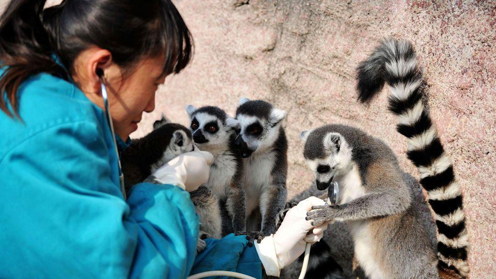 Un veterinario verifica el estado de salud de un lémur de cola anillada con un estetoscopio en un parque de vida silvestre en Qingdao, provincia de Shandong, China