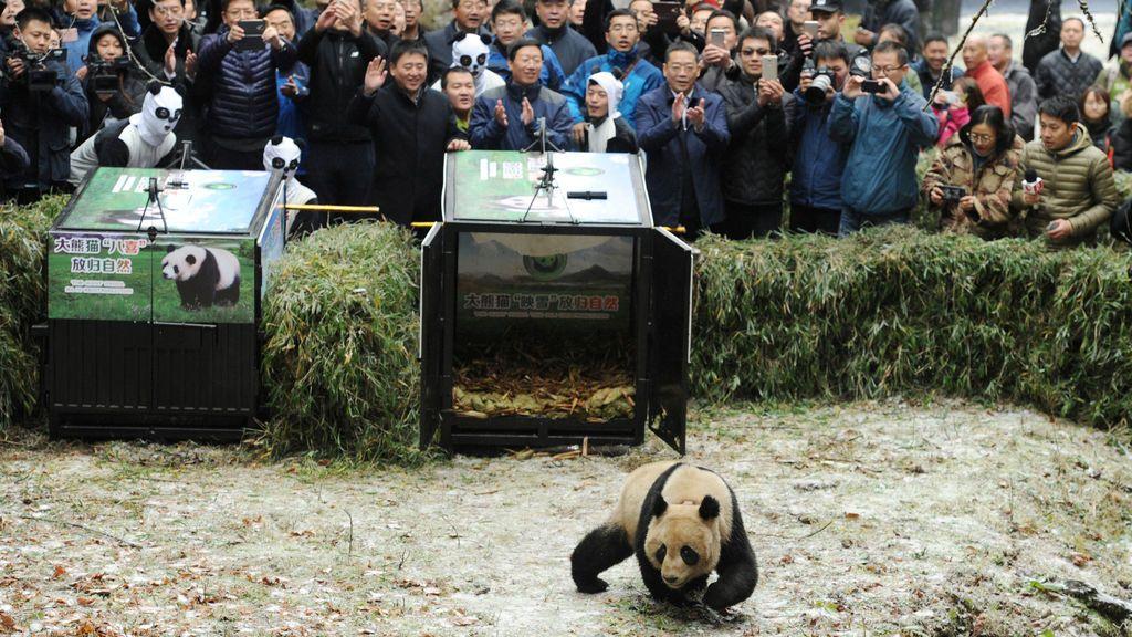 La gente toma fotos del panda Yingxue cuando sale de su jaula y regresa a la naturaleza, a la Reserva Natural Liziping, en Ya'an, provincia de Sichuan, China