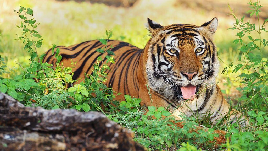 Abaten a un tigre en plena calle de París tras escaparse de un circo