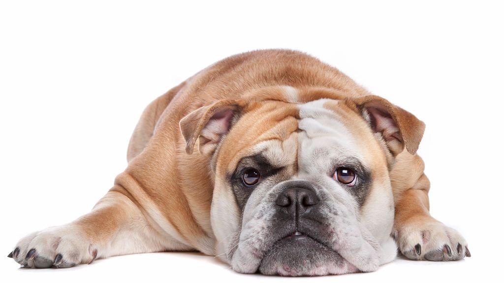 Los perros se enfrentan a una epidemia de obesidad por la generosidad humana