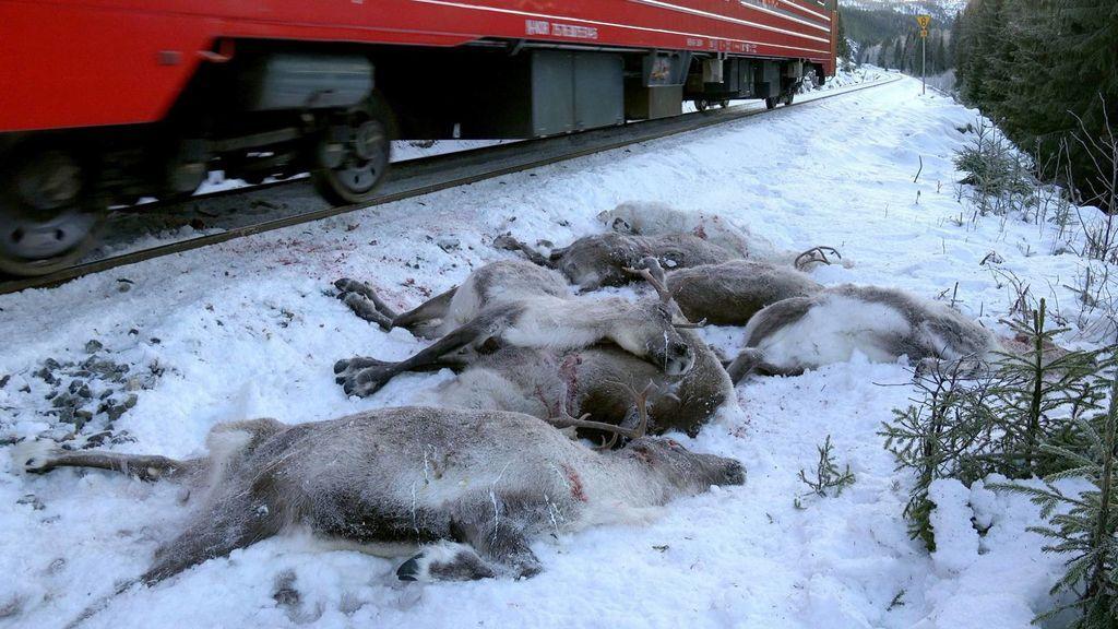 Accidente sobre la nieve: más de 100 renos mueren atropellados por un tren