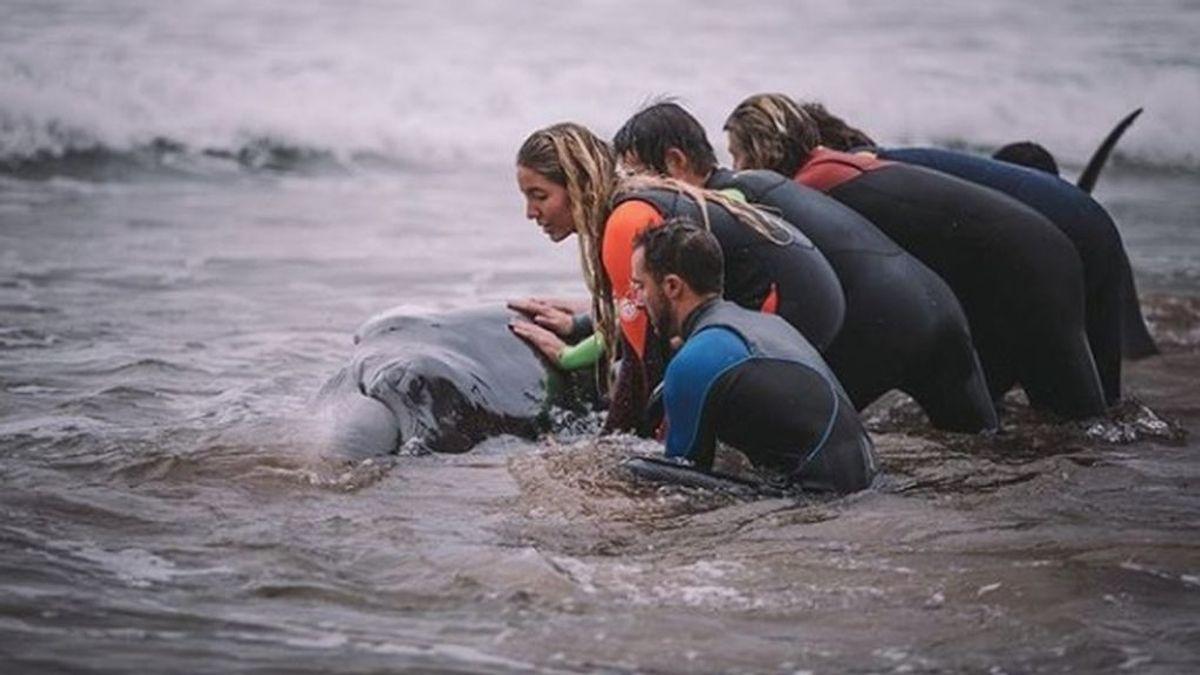 Un grupo de surfistas vascos ayuda a una ballena varada a volver al mar en la playa de Zarautz