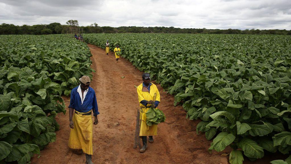 Los trabajadores agrícolas son vistos durante la cosecha de tabaco en la granja Dormervale al este de Harare, Zimbabwe
