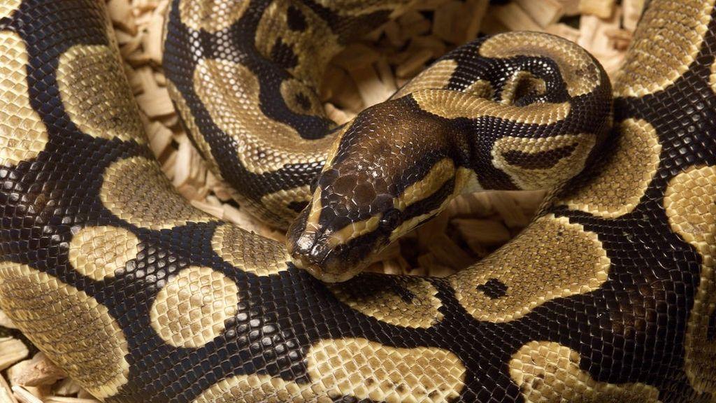 Muere estrangulado por su serpiente pitón en presencia de su hermana