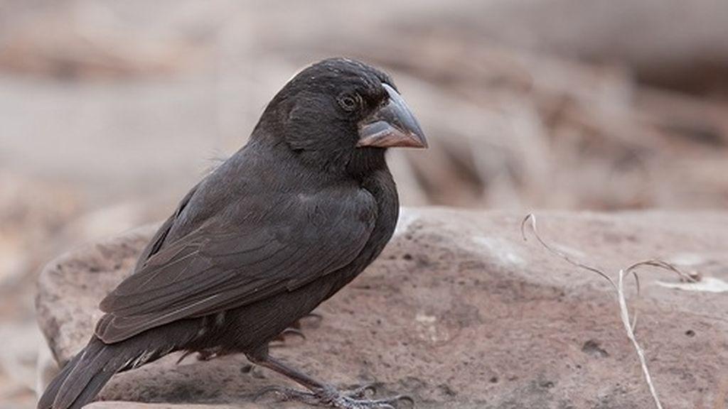 Observan por primera vez cómo una especie de ave se transforma y da lugar a una nueva