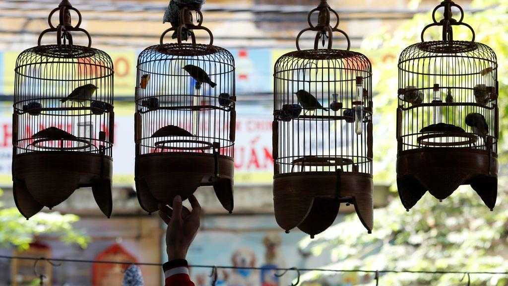 Un dueño de pájaro de ojos blancos cuelga sus jaulas de pájaros en un café mientras escucha la canción de un pájaro en Hanoi, Vietnam