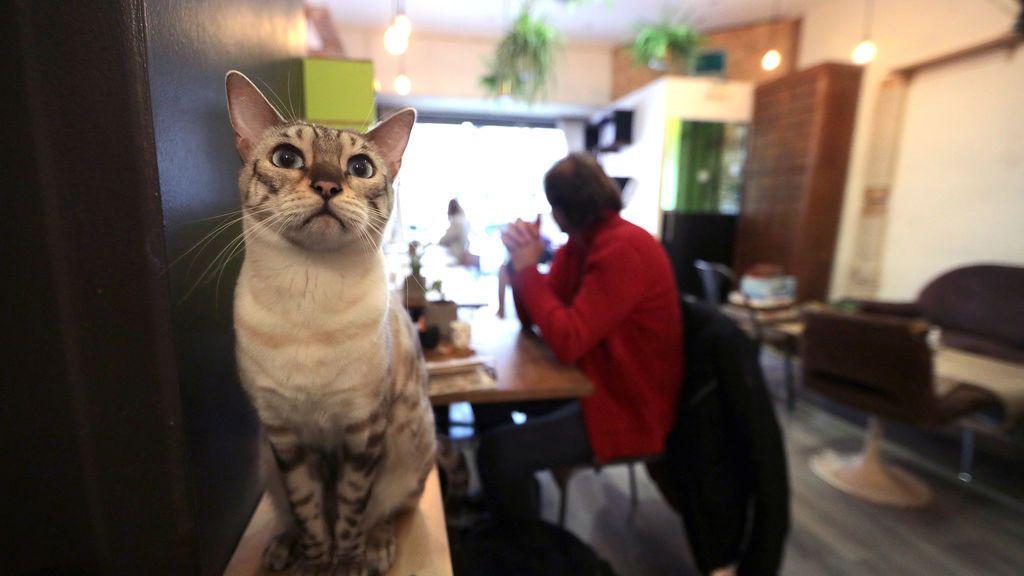 "Jaya, un Bengala de nieve se ve en ""La Ronronnerie"", un café gato en Niza, Francia"