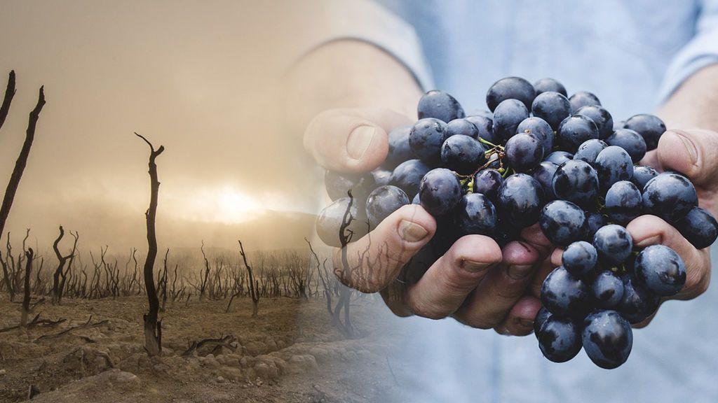 ¿Habrá suficientes uvas para Nochevieja con esta sequía? Hablamos con expertos