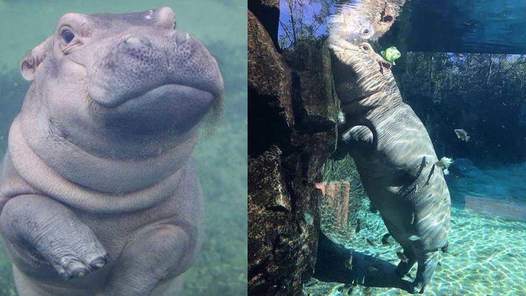 El tierno gesto del hipopótamo más famoso del mundo con una niña