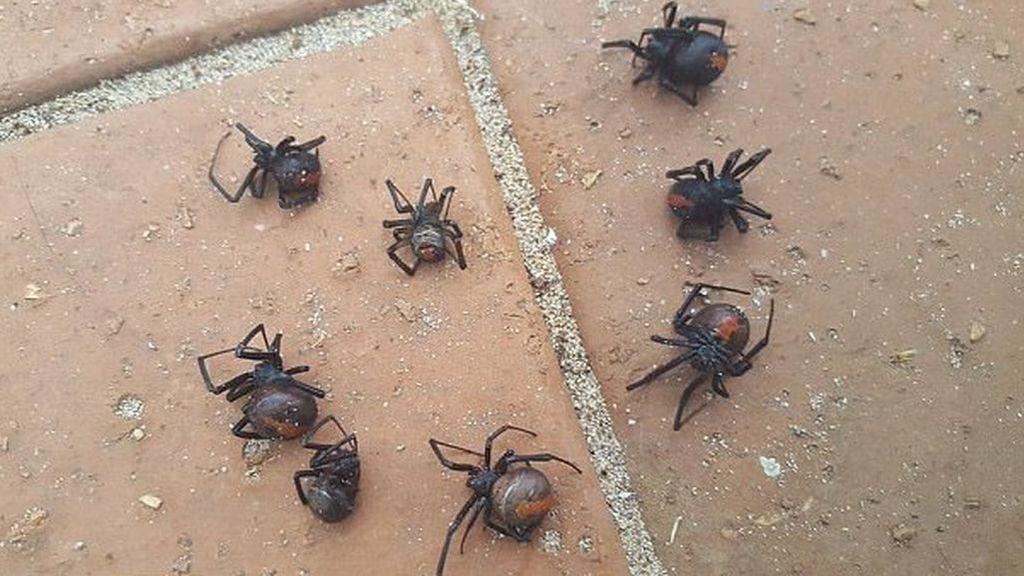 ¡Qué miedo! Las tormentas de Australia se convirtieron en lluvia de arañas venenosas