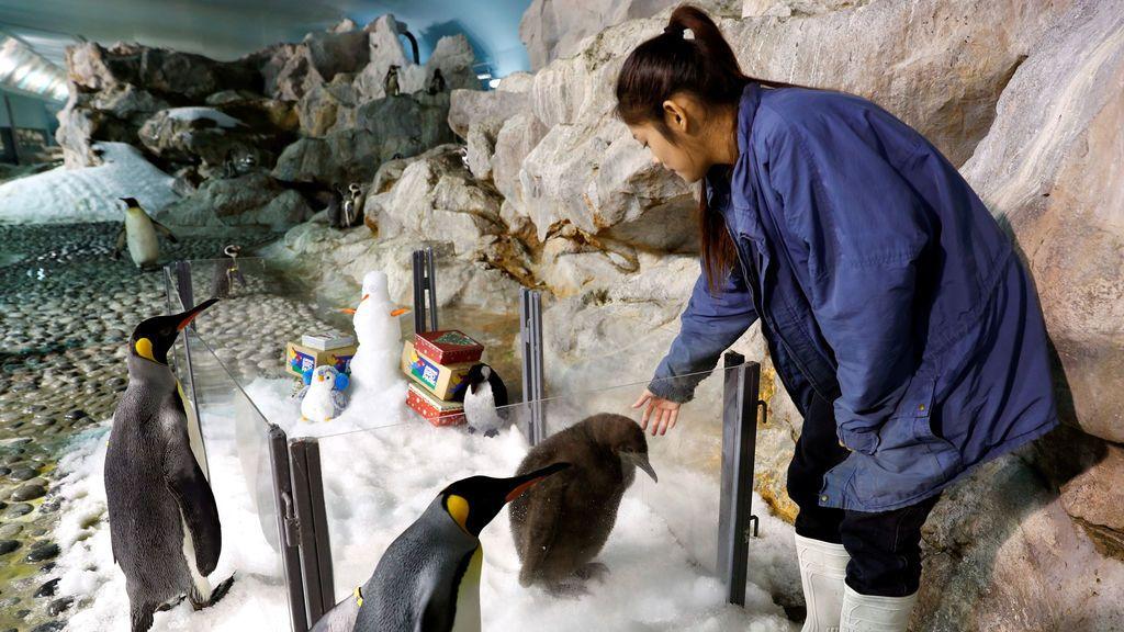 Maru, una cría de pingüino rey de dos meses y la primera eclosión exitosa por el Parque de Aves Jurong en casi una década, mira desde un recinto con tema navideño en la exhibición Penguin Coast en el parque en Singapur