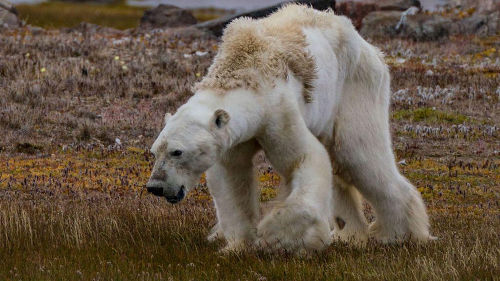 Profundizamos en la polémica foto viral del oso polar: ¿fue realmente el cambio climático culpable de su muerte?