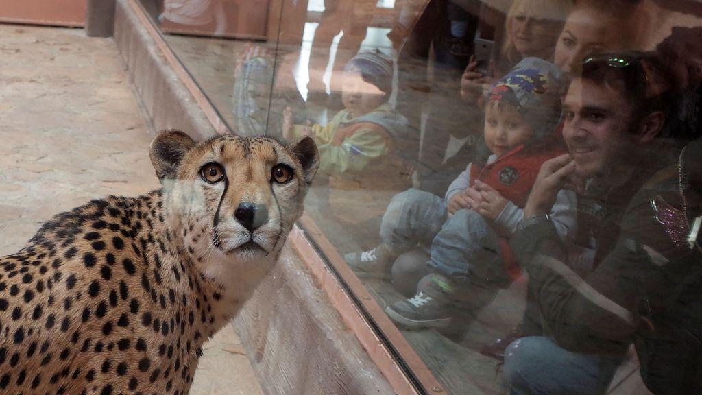 El guepardo en un zoo de Ucrania: ¿Por qué me miran?