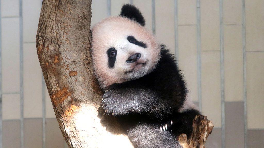 Un bebé panda Xiang Xiang, nacido de madre panda Shin Shin el 12 de junio de 2017, juega en un árbol durante una presentación previa de prensa antes del debut público en el Jardín Zoológico de Ueno en Tokio, Japón