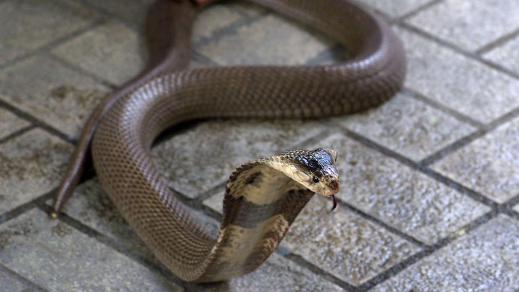 Le muerde una cobra y pide ayuda por Whatsapp pero muere