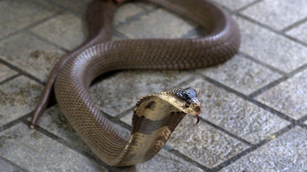 Muere por una mordedura de su cobra tras pedir ayuda por WhatsApp